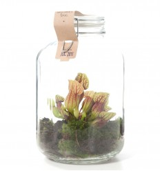 GROWING CONCEPT VASO CON SARRACENIA